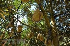 Se convierte Tailandia en mayor exportador mundial de durián