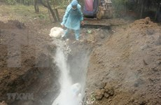 Detectan por primera vez peste porcina africana en provincia vietnamita de Ninh Thuan