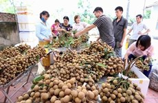 Primer lote de longan fresco vietnamita llega a Australia