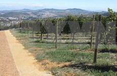 Exportará Sudáfrica uva fresca a Vietnam