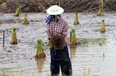 Aplicará Tailandia paquetes de estímulo económico para agricultores