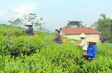 Té verde de Vietnam lidera mercado de Pakistán