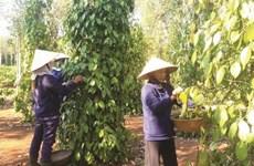Registran las exportaciones de pimienta vietnamita a Europa resultados positivos