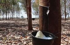 Destacan a Tailandia como mayor exportador mundial de caucho