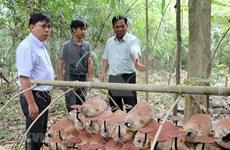 Logran en Vietnam cultivar variedades de hongos Lingzhi