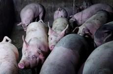 Sacrifican en Tailandia cientos de cerdos para prevenir expansión de peste porcina africana