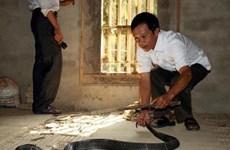Desarrollarán en provincia vietnamita de Vinh Phuc turismo relacionado con cría de serpientes