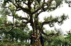 Reconoce Vietnam al té Shan Tuyet de Giang Pang como Patrimonio Nacional