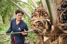Planea Tailandia aplicar nuevas medidas para elevar precio del aceite de palma