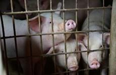 Declaran 24 provincias de Tailandia estado de alerta por peste porcina africana