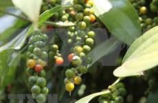 Sector de pimienta de Vietnam apunta al desarrollo sostenible