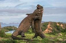 Detiene Indonesia plan para cerrar el Parque Nacional de Komodo
