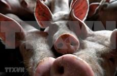 Reportan en Timor Leste brotes de la Peste Porcina Africana