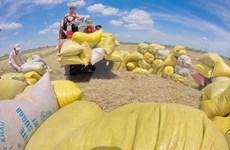 Ingresa Vietnam 2,24 mil millones de dólares por las exportaciones de arroz