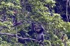 Quang Nam mejora hábitat de langur en peligro de extinción