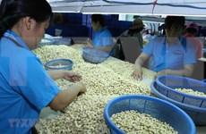 Aumenta Vietnam sus exportaciones de anacardo a China