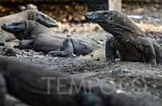 Planea Indonesia construir Museo del Dragón de Komodo