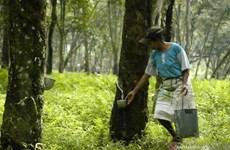 Destina Tailandia 798 millones de dólares para subsidios a productores de caucho