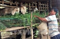 Proyecta  provincia vietnamita de Ninh Thuan  ampliar la ganadería caprina