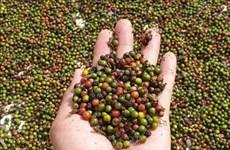 Advierten en Vietnam  a las empresas que tengan cuidado al  exportar pimienta a Myanmar