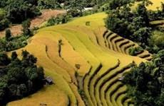 Temporada dorada en arrozales de provincia vietnamita de Yen Bai