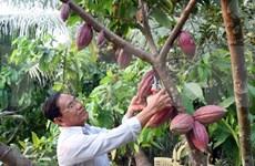 Exportan primer lote de cacao orgánico vietnamita a Japón