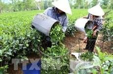 Aumentaron más del 14 por ciento las exportaciones vietnamitas de té