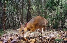 Captan en Vietnam imágenes de diminuto mamífero que se creía extinguido