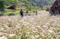 Inauguran en provincia vietnamita de Ha Giang Festival de Flores de Alforfón