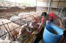 Efectúan en Vietnam conferencia de Asia-Pacífico sobre peste porcina africana
