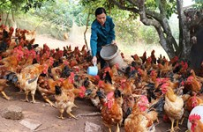 Desarrolla provincia vietnamita de Bac Giang cría del pollo criollo de Yen The
