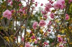 Celebrarán Festival de Flores Sa Dec 2020
