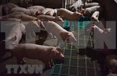 Reportan en Indonesia riesgo de brotes de peste porcina africana