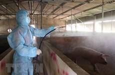 Sacrifica Vietnam millones de cerdos por epidemia de peste porcina africana