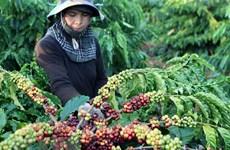 Provincia vietnamita de Dak Lak se centra en producción de cafés especiales