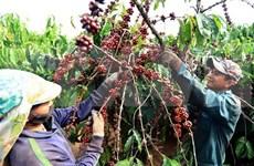 Sector cafetero de Vietnam apunta a un ingreso de seis mil millones de dólares en 2020
