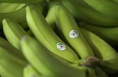 Exporta empresa vietnamita primer lote de plátano cultivado en Camboya