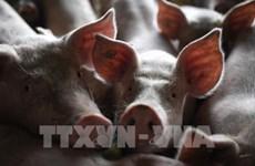 Se extiende peste porcina africana en Indonesia