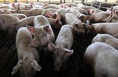 Empresas de Vietnam y Francia cooperan en producción de vacunas contra peste porcina africana