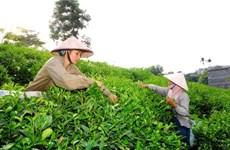 Celebrarán IV Festival de Té, especialidad de provincia vietnamita de Thai Nguyen