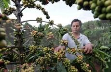 Café de Vietnam conquista el mercado mundial