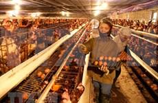 Premier de Vietnam exhorta a intensificar medidas preventivas de la influenza aviaria