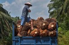 Aumento del consumo interno de Indonesia puede afectar oferta global de aceite de palma