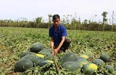 Apoya Embajada de Qatar a agricultores vietnamitas afectados por epidemia
