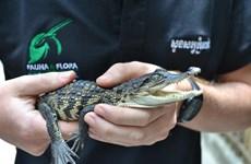 Descubren en Camboya crías de cocodrilo siamés casi extinto