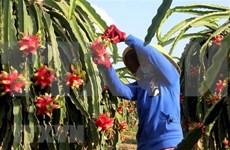 Exportan fruta del dragón de pulpa roja de Vietnam a Australia