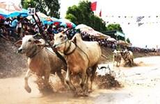 Carrera tradicional de bueyes en Vietnam aspira a convertirse en evento internacional