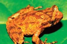 Descubren en provincia vietnamita nueva especie de sapo
