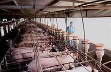 Reducirán en Vietnam precio de carne de cerdo