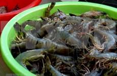 Caen los precios del camarón del Delta del Mekong a causa del COVID-19